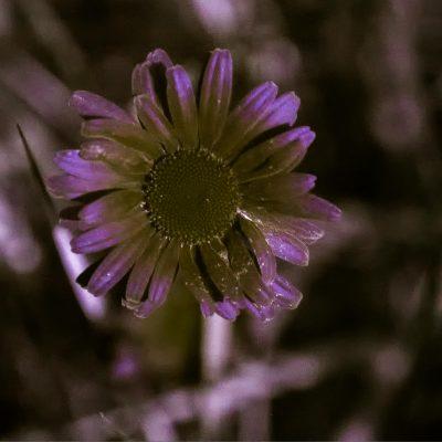 Leucanthemun vulgare (UVA)