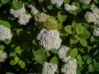 Spiraea betulifolia (VIS)